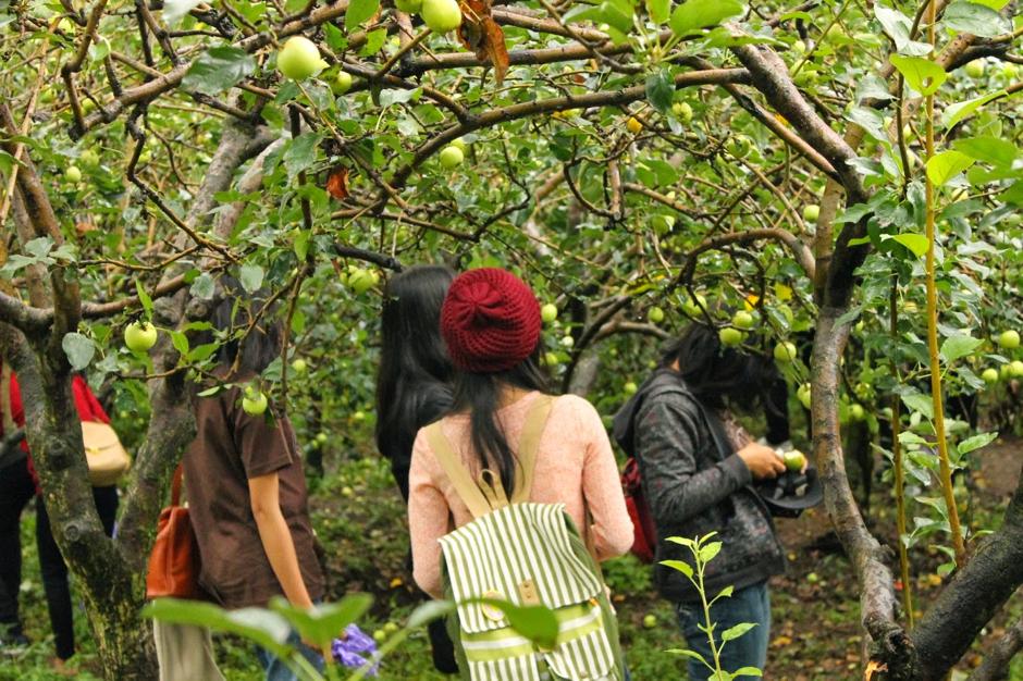 Wisata Petik Apel di Kusuma Agrowisata Batu