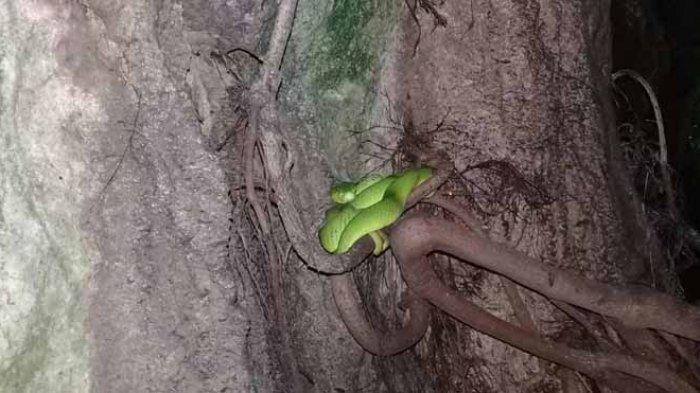 ular hijau di istana ular flores