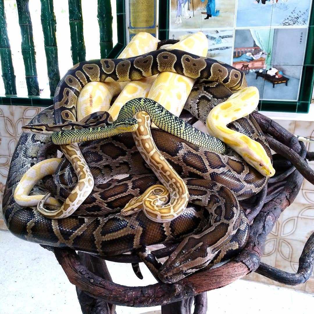 Berwisata Ke Snake Temple Malaysia Yang Di Penuhi Dengan Ular Berbisa